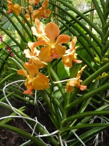 Resituate Singapore Orchid11