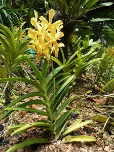 Resituate Singapore Orchid13