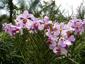 Resituate Singapore Orchid17