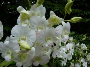 Resituate Singapore Orchid27