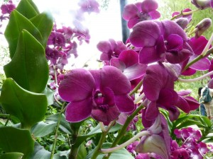 Resituate Singapore Orchid30