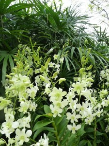 Resituate Singapore Orchid33