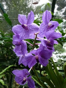 Resituate Singapore Orchid43