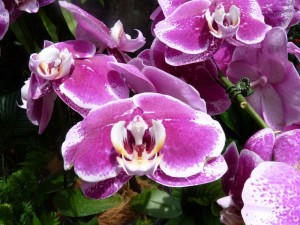 Resituate Singapore Orchid54