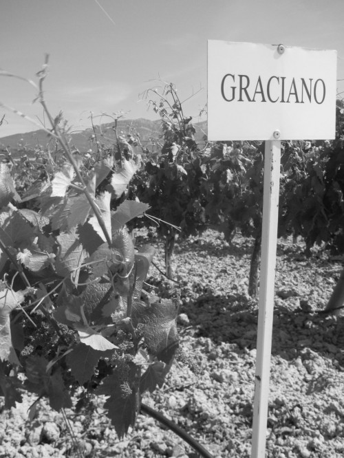 Graciano variety at Dominio de Berzal
