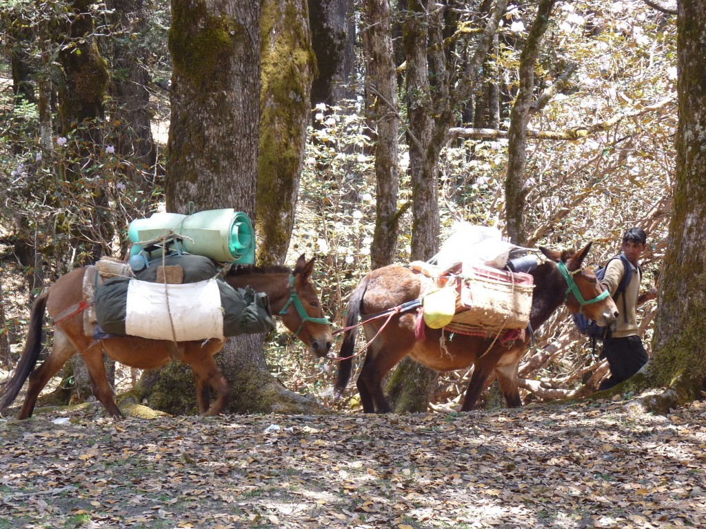 Our mules and mule handler on the Kuari Pass Trek