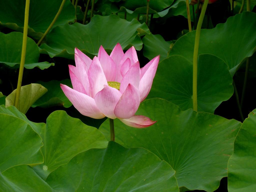 Gyeongju Pink Lotus
