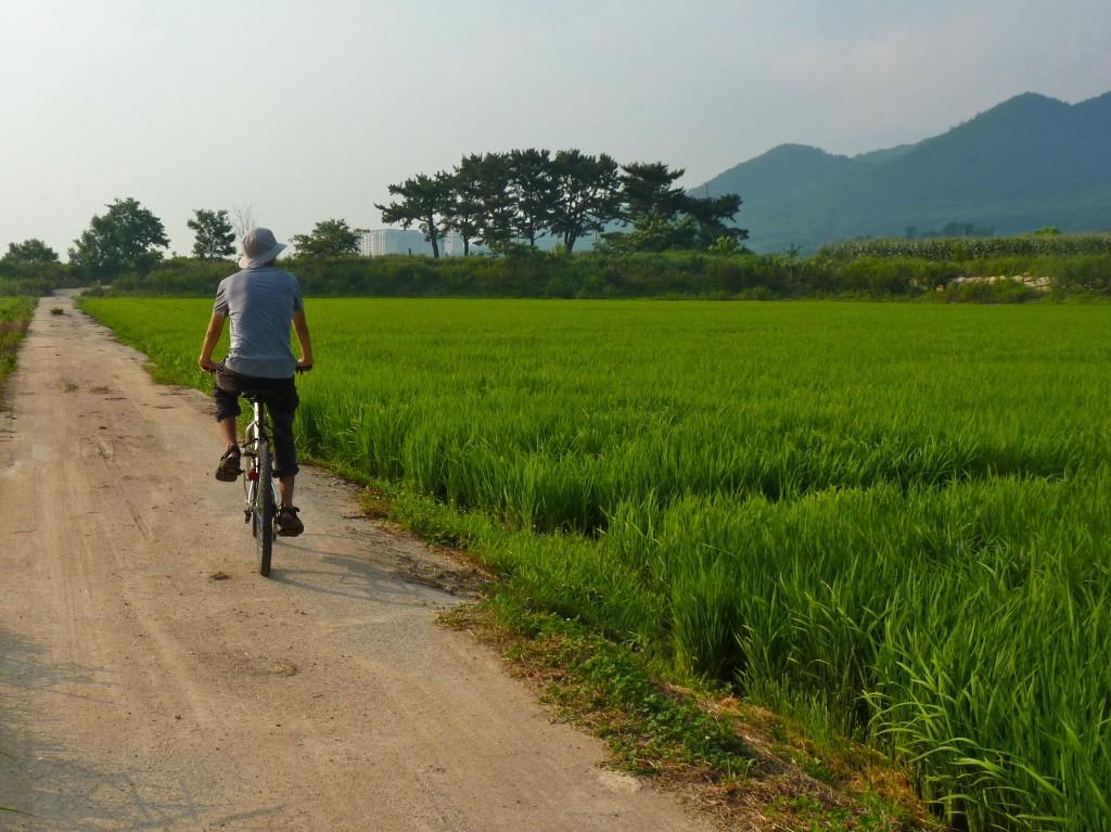 Gyeongju Rice Paddies